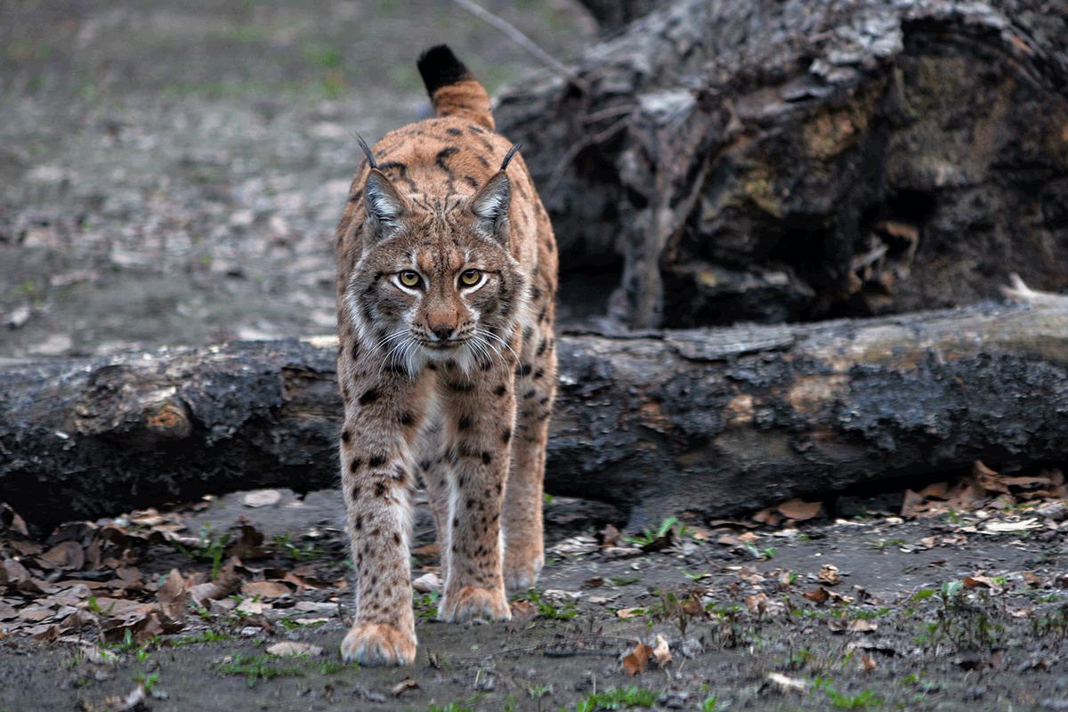 Animal Sound Identification Guide Wildliferemoval Com