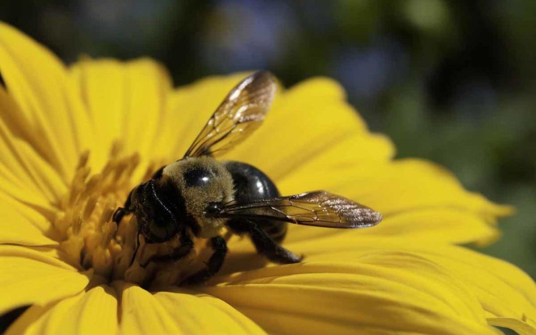 Declining Bee Population