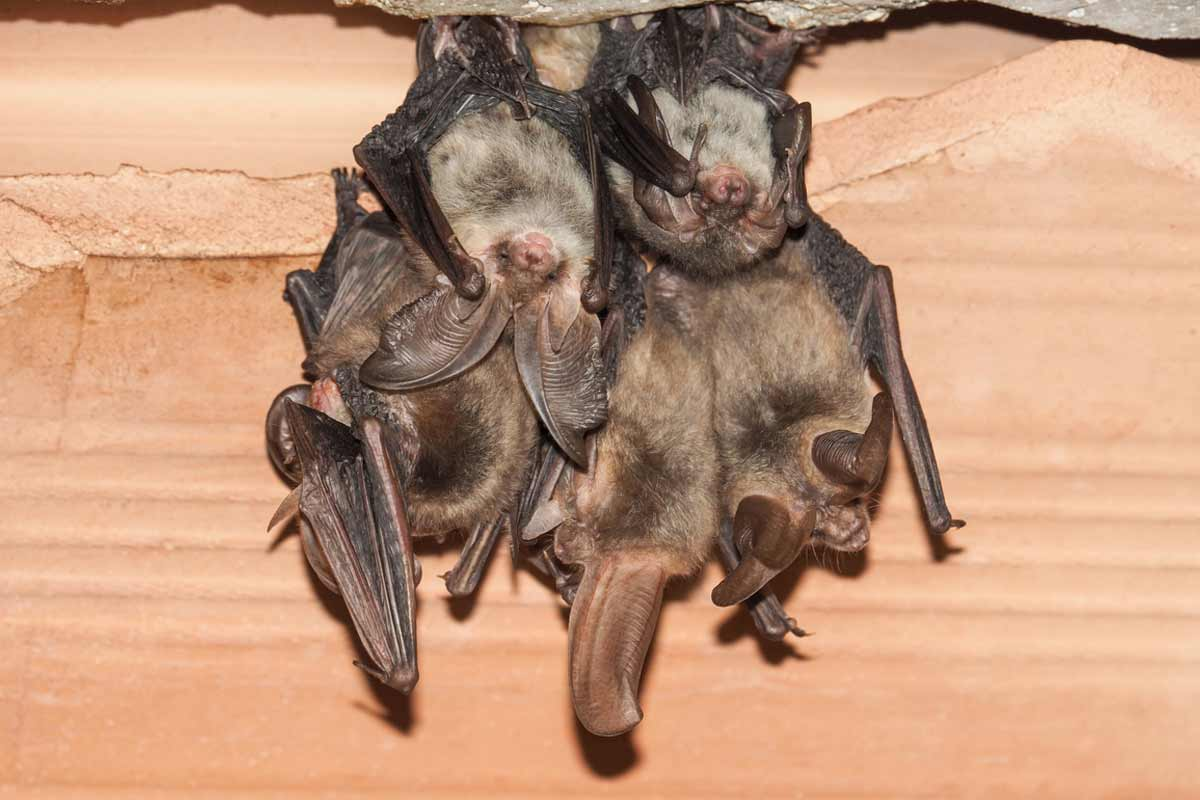 cluster of bats in attic