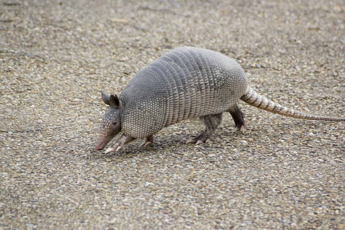 nine-banded armadillo identification