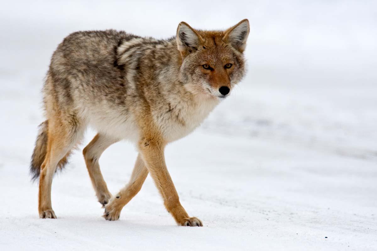 identifying coyotes