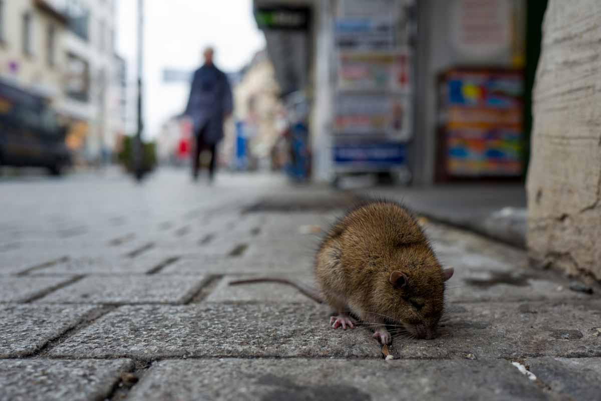rat on the street
