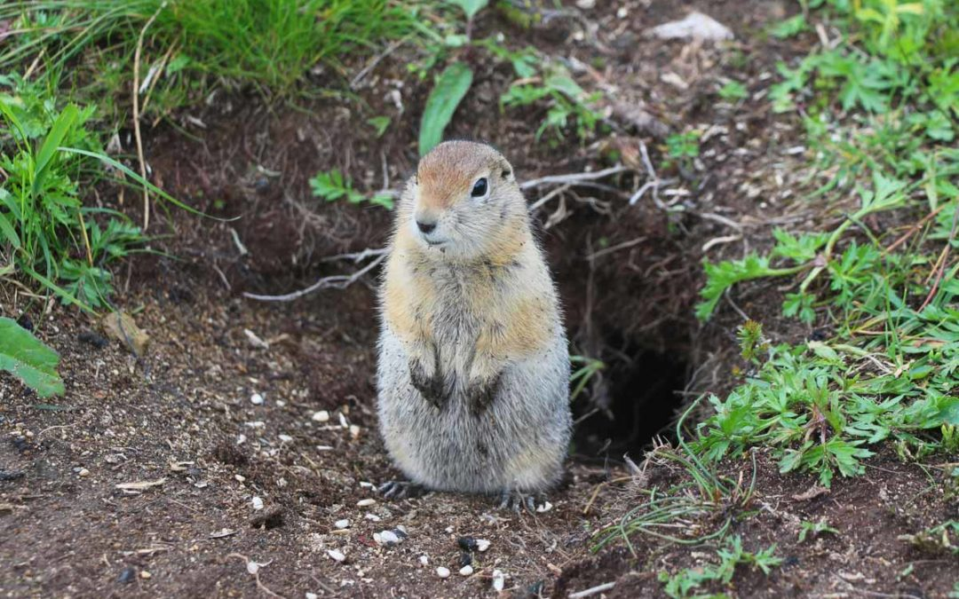 Exploring the Best Gopher Repellent Options