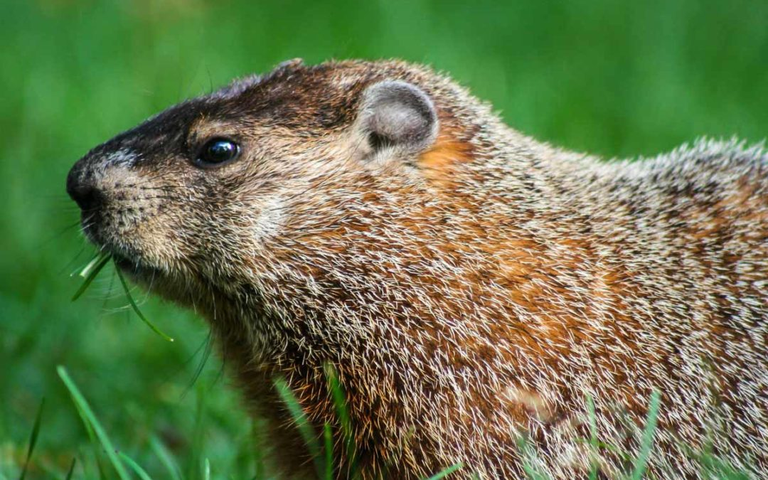 Best Groundhog Poison