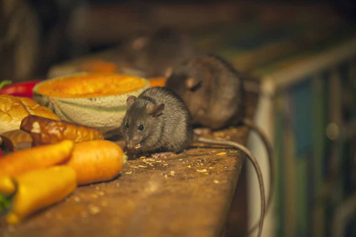 mice eating food