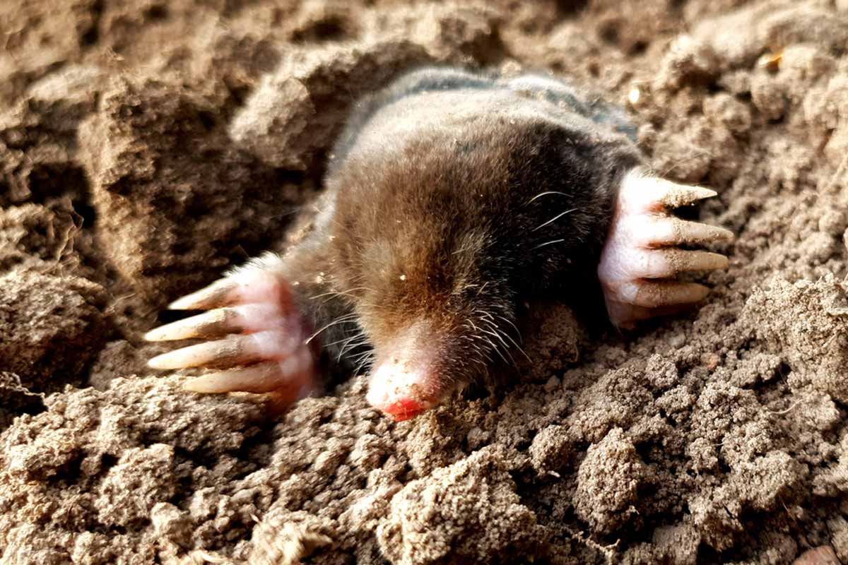 mole on dirt