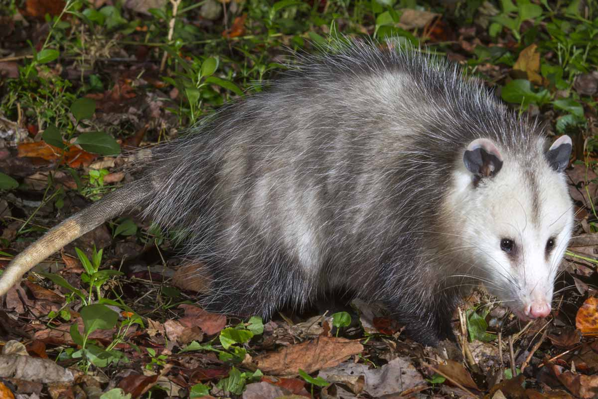 Best Possum Repellent | WildlifeRemoval com