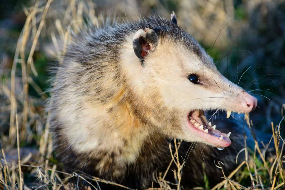 How To Get Rid Of Opossums | WildlifeRemoval com