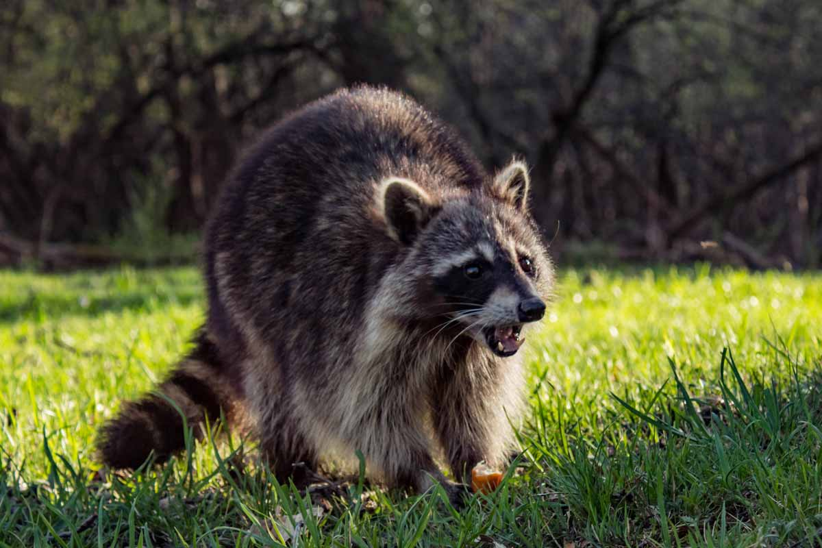 Best Raccoon Poison | WildlifeRemoval com