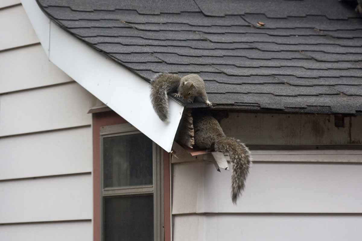 squirrels in the gutters