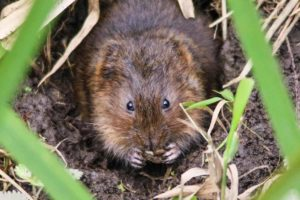 vole eating
